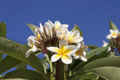 Frangipani (plumeria flowers) Royalty Free Stock Photography