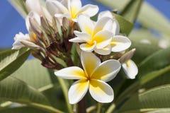 Frangipani (plumeria flowers) Royalty Free Stock Photos