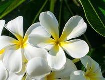Frangipani, Plumeria flowers Stock Image