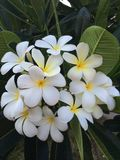 Frangipani or Plumeria Flowers Royalty Free Stock Photography