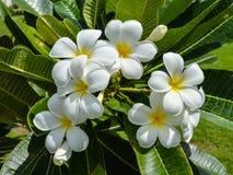 Frangipani or Plumeria flowers Stock Image