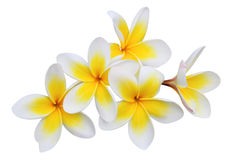 Frangipani (plumeria) flowers isolated on white Stock Photos