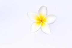 Frangipani (plumeria) flowers isolated. On white Stock Photography