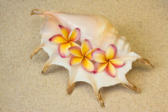 Frangipani, plumeria flowers in seashell, on sand. Background Royalty Free Stock Photos