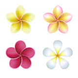 Frangipani (plumeria) flowers on white background Royalty Free Stock Photo
