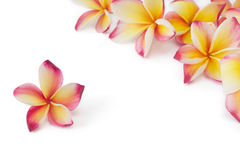 Frangipani, plumeria, frangippani flower, on white Stock Images