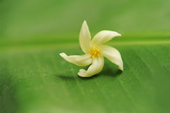 Frangipani / Plumeria on a green leaf Stock Images