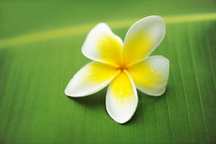 Frangipani / Plumeria on a green leaf Stock Photo