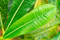 Frangipani or plumeria green leaves with rain-drops. Frangipani or plumeria green tree with rain drops on leaves Royalty Free Stock Images