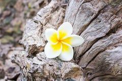 Frangipani plumeria i cukierków kwiaty w drewnianym kolorze i sharpn Obrazy Royalty Free