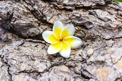 Frangipani plumeria i cukierków kwiaty w drewnianym kolorze i sharpn Obraz Royalty Free