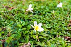 Frangipani plumeria i cukierków kwiaty w drewnianym kolorze i sharpn Obraz Stock