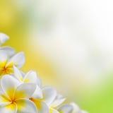 Frangipani Plumeria kwiatów granica Zdjęcia Royalty Free