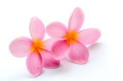 Frangipani, Plumeria kwiat Obrazy Stock
