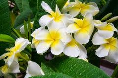 Frangipani, Plumeria kwiat zdjęcie stock