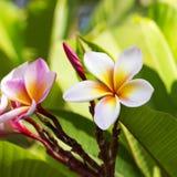 Frangipani Plumeria kwiaty Obraz Stock