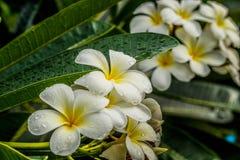 Frangipani Plumeria på vit bakgrund Royaltyfria Bilder