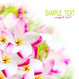 Frangipani plumeria pink hawaii flower. Spa border background stock photo