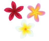 Frangipani Plumeria Set Stock Photo
