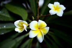 Frangipani (Plumeria SP ) Στοκ Φωτογραφία