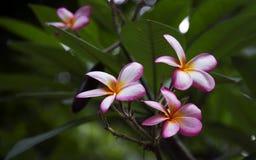Frangipani (Plumeria sp.) Royalty Free Stock Photos