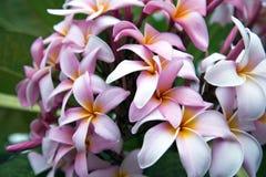 Frangipani (Plumeria sp.) Stock Photos