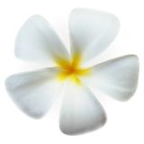 Frangipani plumeria Spa Flower isolated on white Royalty Free Stock Image