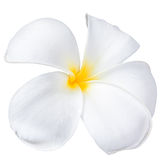 Frangipani plumeria Spa Flower Royalty Free Stock Photo