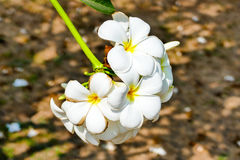 Frangipani,  Plumeria,  Temple Tree,  Graveyard Tree. Frangipani flowers beautiful Royalty Free Stock Images