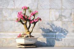 Frangipani, Plumeria, Templetree, тайский цветок Стоковое Изображение RF