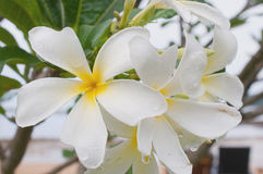 Frangipani, Plumeria, Templetree Royalty Free Stock Images