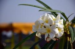 Frangipani, Plumeria, Templetree Immagine Stock Libera da Diritti