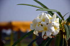 Frangipani Plumeria, Templetree Royaltyfri Bild