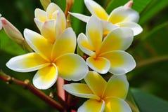 Frangipani Plumeria, Templetree Arkivfoton