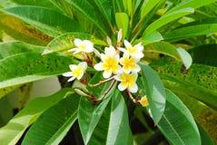 Frangipani Plumeria, Templetree Fotografering för Bildbyråer