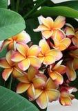 Frangipani, Plumeria, Templetree beautiful Royalty Free Stock Image