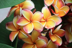 Frangipani, Plumeria, Templetree beautiful Royalty Free Stock Photos