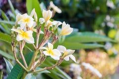 Frangipani, Plumeria, Templetree,Thai flower Stock Image