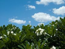 Frangipani, Plumeria, Templetree tree and blue sky Stock Photos