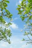 Frangipani (Plumeria) tree Royalty Free Stock Photo
