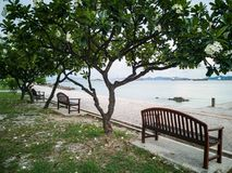 Frangipani ,Plumeria tree beside beach on Koh Sichang, Chonburi,. Thailand Stock Photo