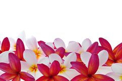 Frangipani or plumeria tropical flower Stock Photos