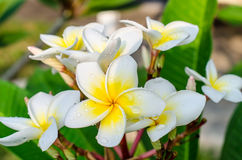 Frangipani or plumeria tropical flower with water drops Royalty Free Stock Photo