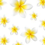Frangipani (Plumeria) Tropical Flowers Stock Photography