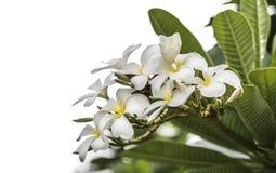 Frangipani, Plumeria. On white background Royalty Free Stock Photos