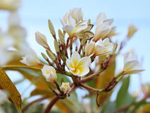 Frangipani or Plumeria. White Frangipani or Plumeria Flower Royalty Free Stock Image