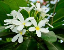 Frangipani/Plumeria white flower Stock Photos