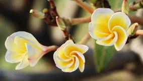 Frangipani or Plumeria. Yellow Frangipani or Plumeria Flower Royalty Free Stock Photo