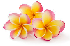 Frangipani, Plumiera, Frangipanni. Frangipani, Plumiera rubra, isolated on white background Royalty Free Stock Images