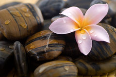 Frangipani and polished stone Royalty Free Stock Image